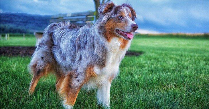 Best Dog Brush For Australian Shepherd
