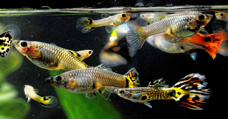 Guppy Diseases, Parasites, and Remedies