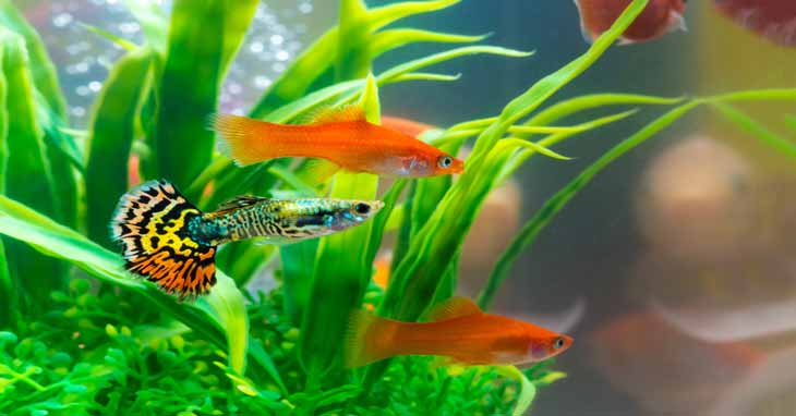 Guppy Fish Growth Stages