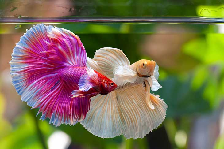 list of fish that can live with bettas