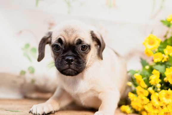 properly-socialized-Puggle-pup