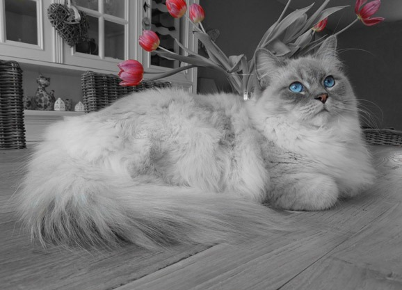 Ragdoll Cats Breed