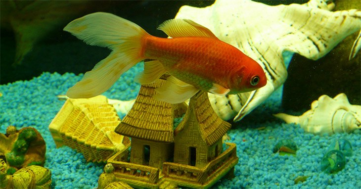 Can Goldfish Regrow Scales