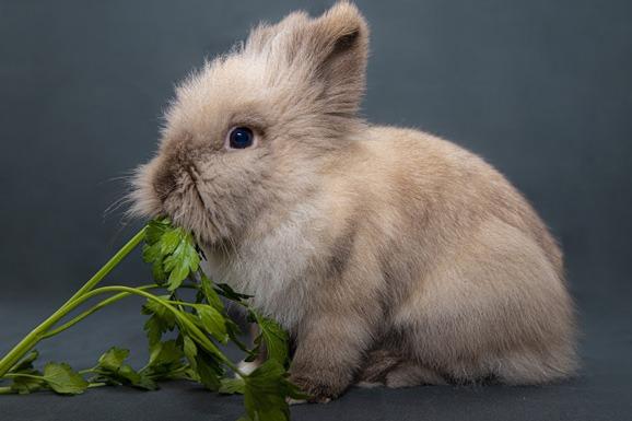 Can Bunnies Eat Celery