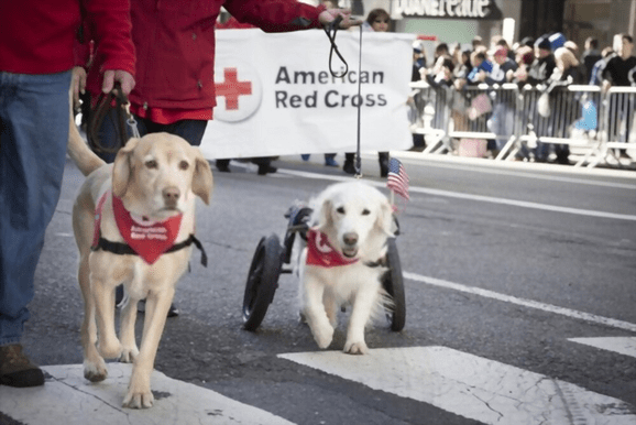 Can a dog pee in a wheelchair