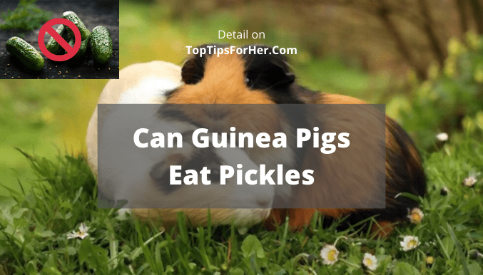 can guinea pigs eat pickles