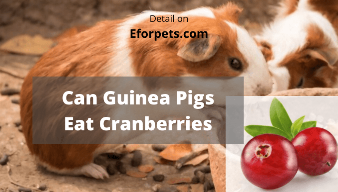 Can Guinea Pigs Eat Cranberries