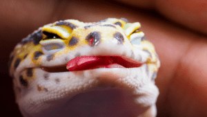 signs to tell if your Leopard Gecko is happy or sad